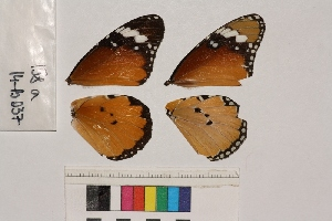 ( - RVcoll.14-B037)  @12 [ ] Butterfly Diversity and Evolution Lab (2014) Roger Vila Institute of Evolutionary Biology