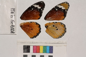 ( - RVcoll.14-B038)  @12 [ ] Butterfly Diversity and Evolution Lab (2014) Roger Vila Institute of Evolutionary Biology