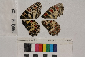( - RVcoll.14-B061)  @11 [ ] Butterfly Diversity and Evolution Lab (2014) Roger Vila Institute of Evolutionary Biology