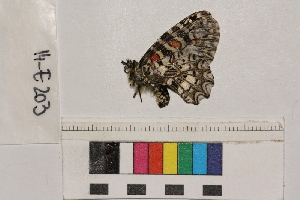 ( - RVcoll.14-E203)  @11 [ ] Butterfly Diversity and Evolution Lab (2014) Roger Vila Institute of Evolutionary Biology