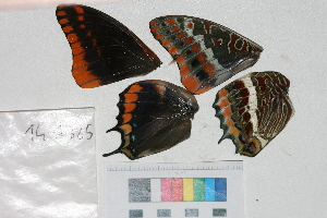 ( - RVcoll.14-J325)  @12 [ ] Butterfly Diversity and Evolution Lab (2014) Roger Vila Institute of Evolutionary Biology