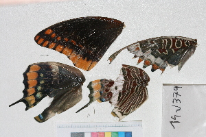 ( - RVcoll.14-J379)  @12 [ ] Butterfly Diversity and Evolution Lab (2014) Roger Vila Institute of Evolutionary Biology