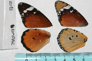 ( - RVcoll.13-S442)  @12 [ ] Butterfly Diversity and Evolution Lab (2014) Roger Vila Institute of Evolutionary Biology