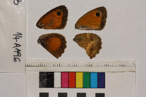 ( - RVcoll.14-A196)  @11 [ ] Butterfly Diversity and Evolution Lab (2014) Roger Vila Institute of Evolutionary Biology