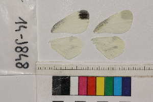 (Leptidea sp - RVcoll.14-J848)  @11 [ ] Butterfly Diversity and Evolution Lab (2014) Roger Vila Institute of Evolutionary Biology