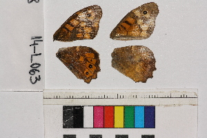 ( - RVcoll.14-L063)  @12 [ ] Butterfly Diversity and Evolution Lab (2014) Roger Vila Institute of Evolutionary Biology