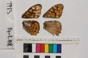 ( - RVcoll.14-L118)  @12 [ ] Butterfly Diversity and Evolution Lab (2014) Roger Vila Institute of Evolutionary Biology