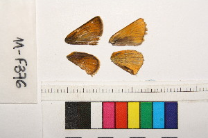 ( - RVcoll.11-F376)  @11 [ ] Butterfly Diversity and Evolution Lab (2014) Roger Vila Institute of Evolutionary Biology