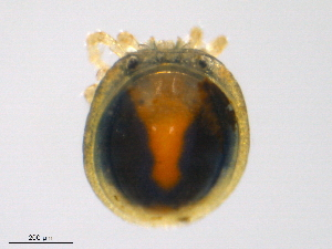 (Nudomideopsidae - H7Bl150829Nm2814)  @11 [ ] by-nc-sa - Creative Commons - Attribution Non-Comm Share-Alike (2016) Biodiversity Institute of Ontario Biodiversity Institute of Ontario