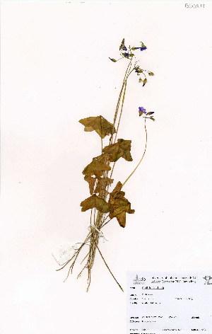 (Oxalis latifolia - BS0218)  @11 [ ] CreativeCommons - Attribution Non-Commercial Share-Alike (2012) Mamadi Theresa Sethusa University of Johannesburg