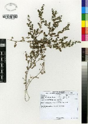 (Euphorbia inaequilatera - MEK221)  @11 [ ] CreativeCommons - Attribution Non-Commercial Share-Alike (2012) Mamadi Theresa Sethusa University of Johannesburg