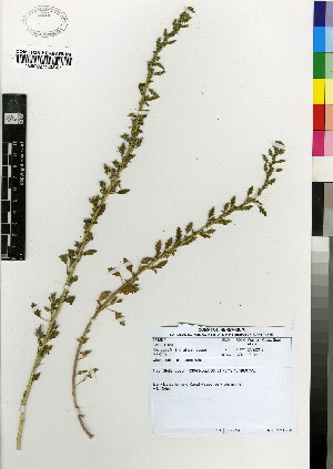 (Chenopodium carinatum - MEK224)  @11 [ ] CreativeCommons - Attribution Non-Commercial Share-Alike (2012) Mamadi Theresa Sethusa University of Johannesburg