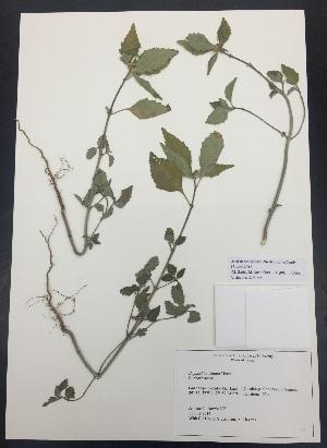 (Euphorbia dentata - Brown178)  @11 [ ] CreativeCommons – Attribution Non-Commercial Share-Alike (2016) Savannah Hight Texas Lutheran University