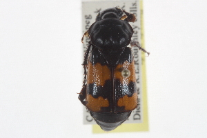 (Nicrophorus hybridus - JBWM0119271)  @14 [ ] CreativeCommons - Attribution Non-Commercial Share-Alike (2014) BIO Photography Group Biodiversity Institute of Ontario