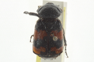 (Nicrophorus obscurus - JBWM0118988)  @11 [ ] CreativeCommons - Attribution Non-Commercial Share-Alike (2014) BIO Photography Group Biodiversity Institute of Ontario