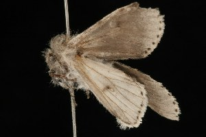 ( - Moth4253.03)  @13 [ ] CreativeCommons - Attribution Non-Commercial Share-Alike (2010) BIO Photography Group Biodiversity Institute of Ontario
