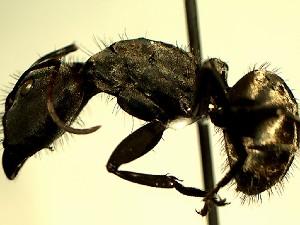 (Camponotus YASsp1 - DD_793_2)  @11 [ ] Creative Commons (2016) David Donoso Universidad de Cuenca