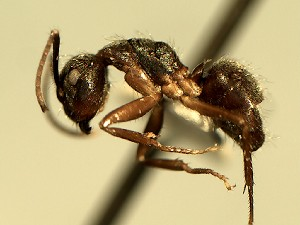 (Camponotus YASsp18 - DD_803_1)  @11 [ ] CreativeCommons (2016) David Donoso Universidad de Cuenca