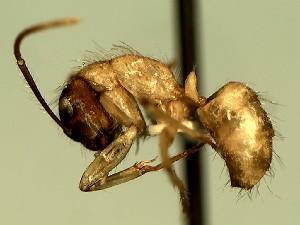 (Camponotus YASsp2 - KY_09_0016_1)  @11 [ ] CreativeCommons (2016) David Donoso Universidad de Cuenca
