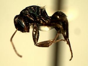 (Camponotus YASsp21 - KY_13_100_0022_C)  @11 [ ] CreativeCommons (2016) David Donoso Universidad de Cuenca