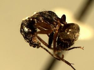 (Camponotus YASsp17 - KY_13_100_1103_2)  @11 [ ] CreativeCommons (2016) David Donoso Universidad de Cuenca