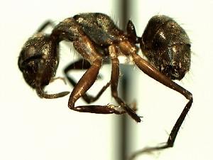 (Camponotus YASsp16 - KY_13_100_1127_1)  @11 [ ] CreativeCommons (2016) David Donoso Universidad de Cuenca