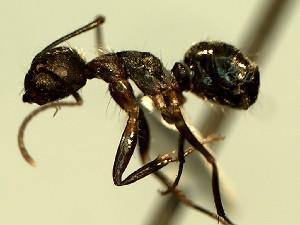 (Camponotus YASsp16 - KY_13_100_1127_2)  @11 [ ] CreativeCommons (2016) David Donoso Universidad de Cuenca