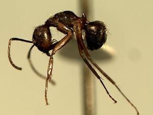 (Camponotus YASsp19 - KY_13_100_1154)  @11 [ ] CreativeCommons (2016) David Donoso Universidad de Cuenca