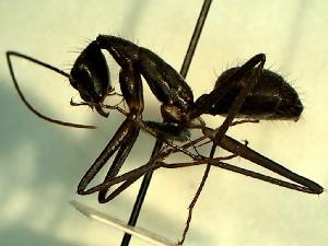 (Camponotus EC029 - KY_13_102_0150)  @11 [ ] CreativeCommons (2016) David Donoso Universidad de Cuenca