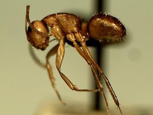 (Camponotus YASsp14 - KY_13_102_0226)  @11 [ ] CreativeCommons (2016) David Donoso Universidad de Cuenca