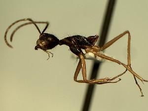 (Camponotus YASsp11 - KY_13_102_0452_1)  @11 [ ] CreativeCommons (2016) David Donoso Universidad de Cuenca