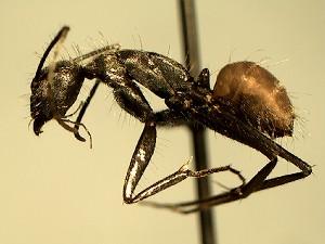 (Camponotus EC027 - KY_13_102_0746)  @11 [ ] CreativeCommons (2016) David Donoso Universidad de Cuenca