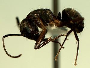 (Camponotus YASsp5 - KY_13_102_0899_B_1)  @11 [ ] CreativeCommons (2016) David Donoso Universidad de Cuenca