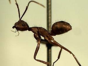 (Camponotus YASsp12 - KY_13_102_622)  @11 [ ] CreativeCommons (2016) David Donoso Universidad de Cuenca