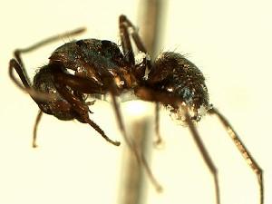 (Camponotus YASsp1 - Na_044_1)  @11 [ ] CreativeCommons (2016) David Donoso Escuela Politécnica Nacional