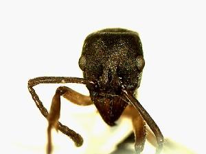 (Camponotus YAS_sp2 - Ta_060_1)  @11 [ ] Creative Commons (2016) David Donoso Escuela Politécnica Nacional