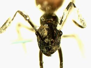 (Camponotus YASsp3 - Ta_068_1)  @11 [ ] CreativeCommons (2016) David Donoso Escuela Politécnica Nacional