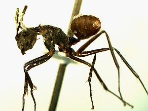 (Camponotus YAS_sp3 - Ta_068_1)  @11 [ ] Creative Commons (2016) David Donoso Escuela Politécnica Nacional