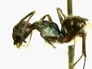(Camponotus YAS_sp1 - Ta_089_1)  @11 [ ] Creative Commons (2016) David Donoso Escuela Politécnica Nacional