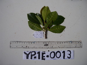 (Ficus adenosperma - YAWPLANTCR109)  @11 [ ] by-nc-sa (2016) C. Redmond Czech Academy of Sciences