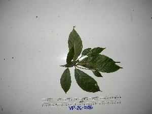 (Ficus rubrivestimenta - YAWPLANTCR181)  @11 [ ] by-nc-sa (2016) C. Redmond Czech Academy of Sciences