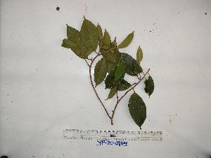 (Ficus cf. trichocerasa - YAWPLANTCR194)  @11 [ ] by-nc-sa (2016) C. Redmond Czech Academy of Sciences
