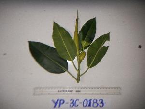 (Ficus xylosycia - YAWPLANTCR249)  @11 [ ] by-nc-sa (2016) C. Redmond Czech Academy of Sciences