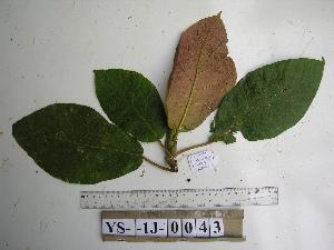 (Ficus iodotricha - YAWPLANTCR395)  @11 [ ] by-nc-sa (2016) C. Redmond Czech Academy of Sciences