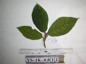 (Ficus calopilina - YAWPLANTCR399)  @11 [ ] by-nc-sa (2016) C. Redmond Czech Academy of Sciences