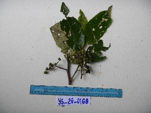 (Alphitonia incana - YAWPLANTCR411)  @11 [ ] by-nc-sa (2016) C. Redmond Czech Academy of Sciences