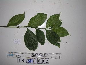 (Graptophyllum - YAWPLANTCR448)  @11 [ ] by-nc-sa (2016) C. Redmond Czech Academy of Sciences