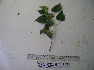 (Homalanthus - YAWPLANTCR464)  @11 [ ] by-nc-sa (2016) C. Redmond Czech Academy of Sciences