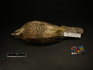 (Butastur - 1995-0114)  @13 [ ] Copyright (2013) Takema  Saitoh Yamashina Institute for Ornithology