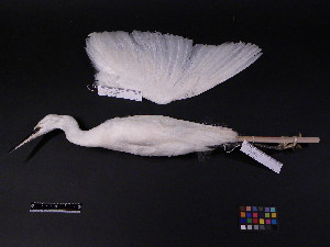 (Egretta garzetta - 1996-0091)  @13 [ ] Copyright (2013) Takema  Saitoh Yamashina Institute for Ornithology
